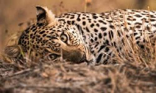 sangamner Following the leopard two youth