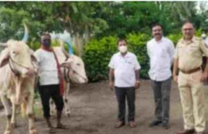 Sangamner News bull pair stole